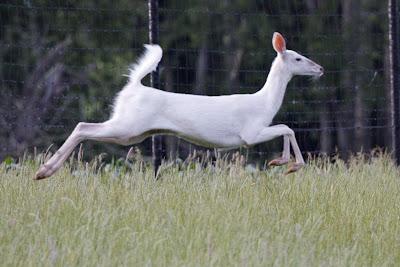 Seneca County White Deer