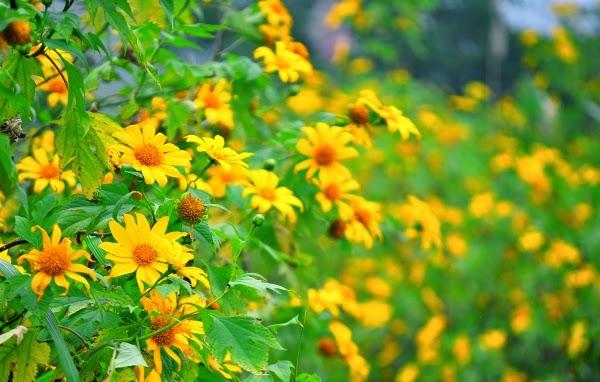 Dành cho những bạn muốn săn ảnh hoa dã quỳ tại Đà Lạt