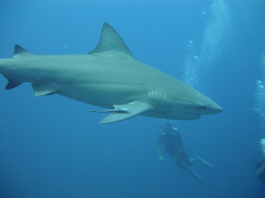 Shark Juvenile Juvenile Bull Shark at