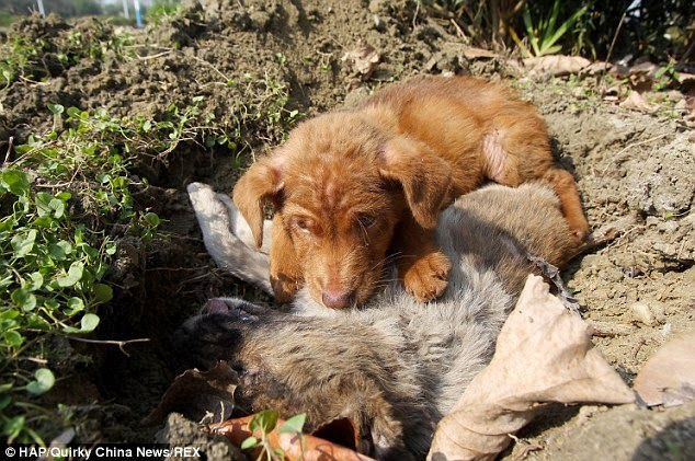 Loyal to the end, three-month-old puppy refuses to leave the side of his sister after she is killed by a car