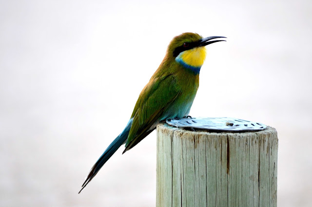 Swallow-tailed Bee-eater in Ai-Ais