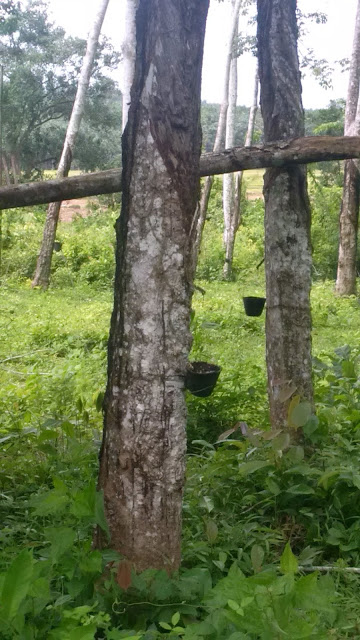 latex, malaysia rubber tree, natural rubber, rubber tapping, rubber tree, ruber tree plantation, gardening