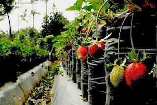 Wisata Memetik Strawberry di Ciwidey