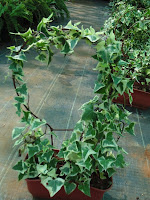 English Ivy pot designed by Arun
