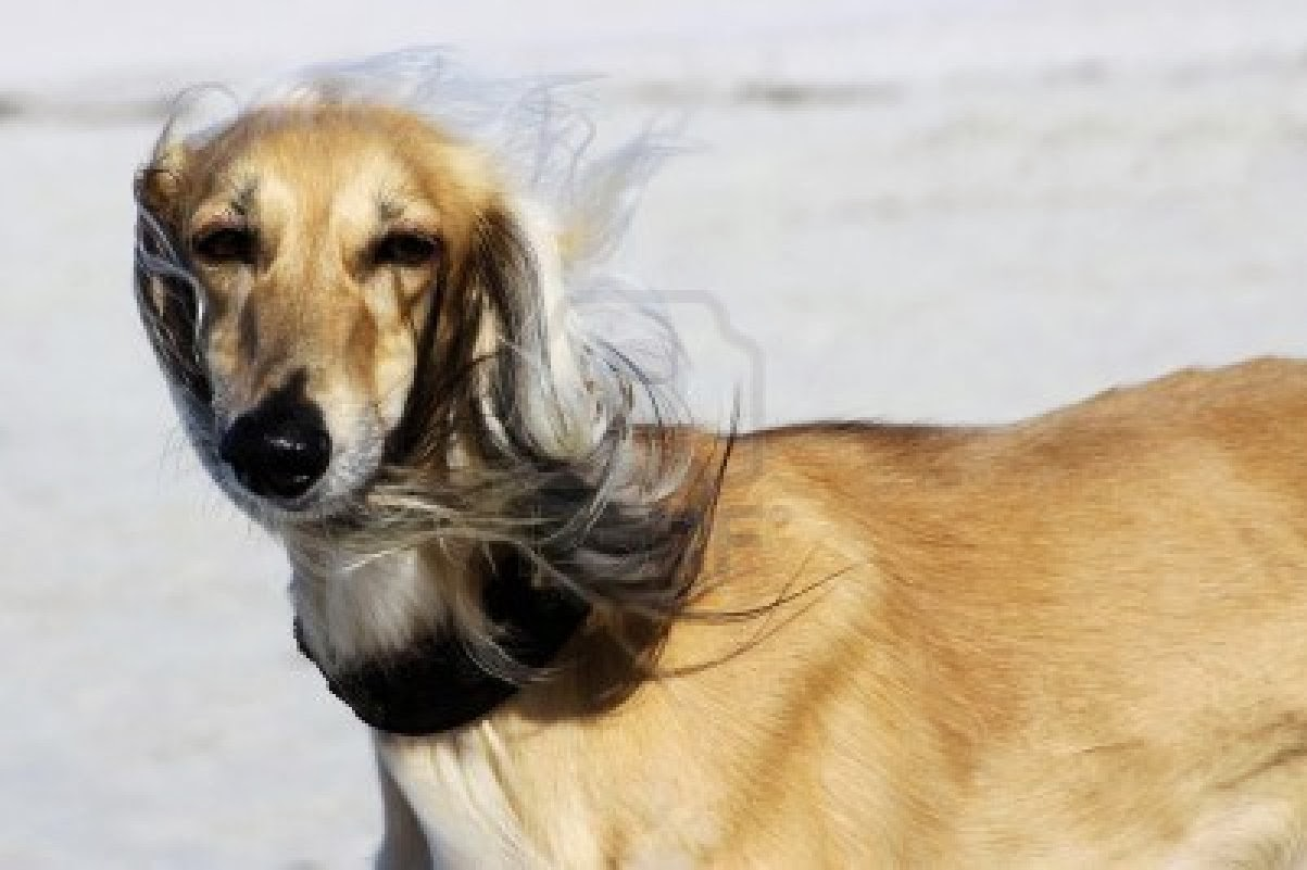 The 6 Best Dogs for Adventure: The Saluki | Animals Library