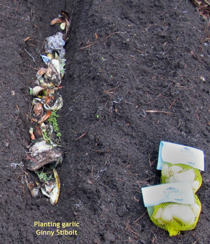 Trench Composting With Kitchen Scraps: Green Gardening Matters: Fall Weather And Planting Garlic