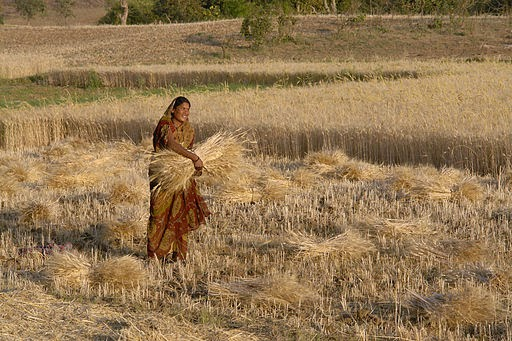 Woman harvesting wheat in Raisen district, Madhya Pradesh, India (Credit: Yann via Wikimedia Commons) Click to enlarge.