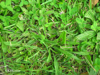 narrowleaf plantain, New Zealand