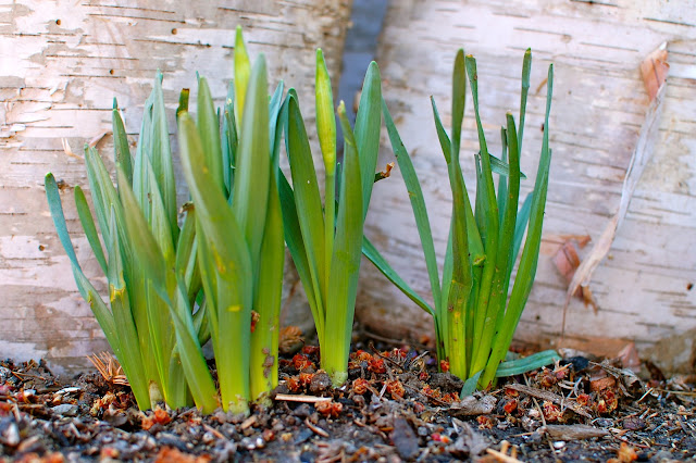 Grow, garden, chives, spring, sedum