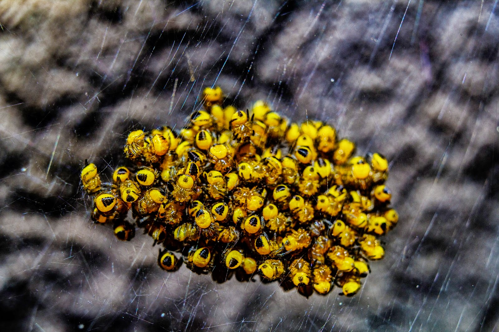 Fotografía macro de un nido de arañas