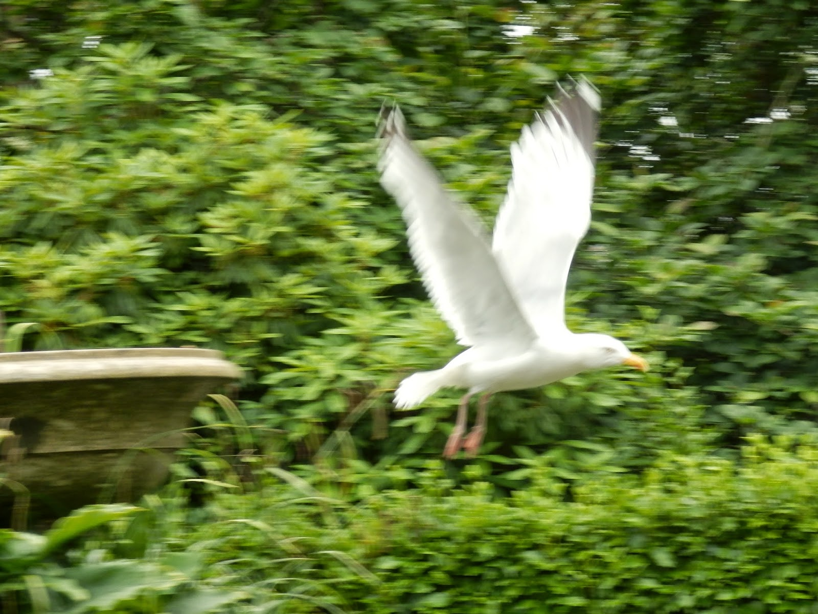 Seagull swooping in Cornwall
