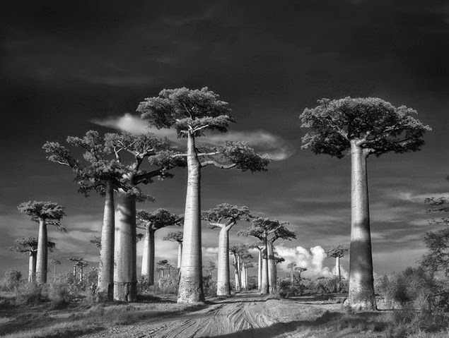 beth moon oldest living trees-1