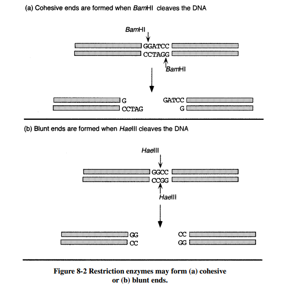 Recombinant dna technology materi kuliah restriction enzymes may form a cohesive or b blunt ends ccuart Images
