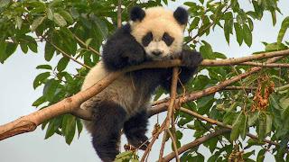 Mono pequeño Panda