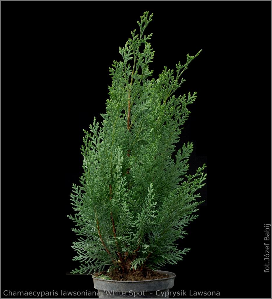 Chamaecyparis lawsoniana 'White Spot' - Cyprysik Lawsona 'White Spot'