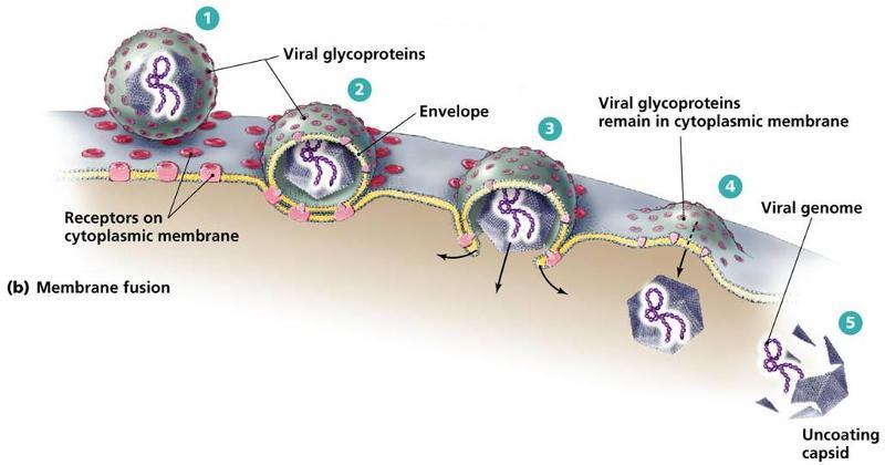 Penetration of virus