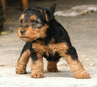 Welsh Terrier Puppy Photo