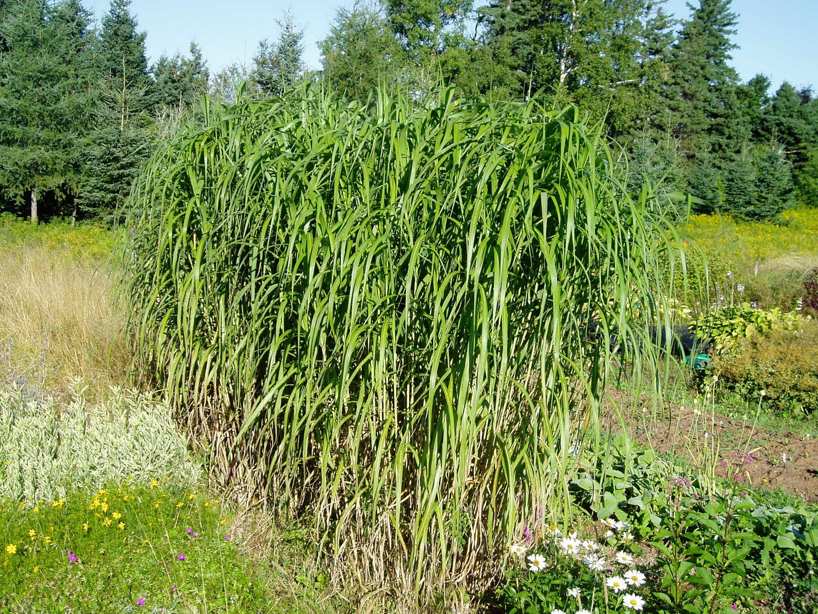Lovegrass farm miscanthus giganteus ornamental grass at for Best tall grasses for privacy