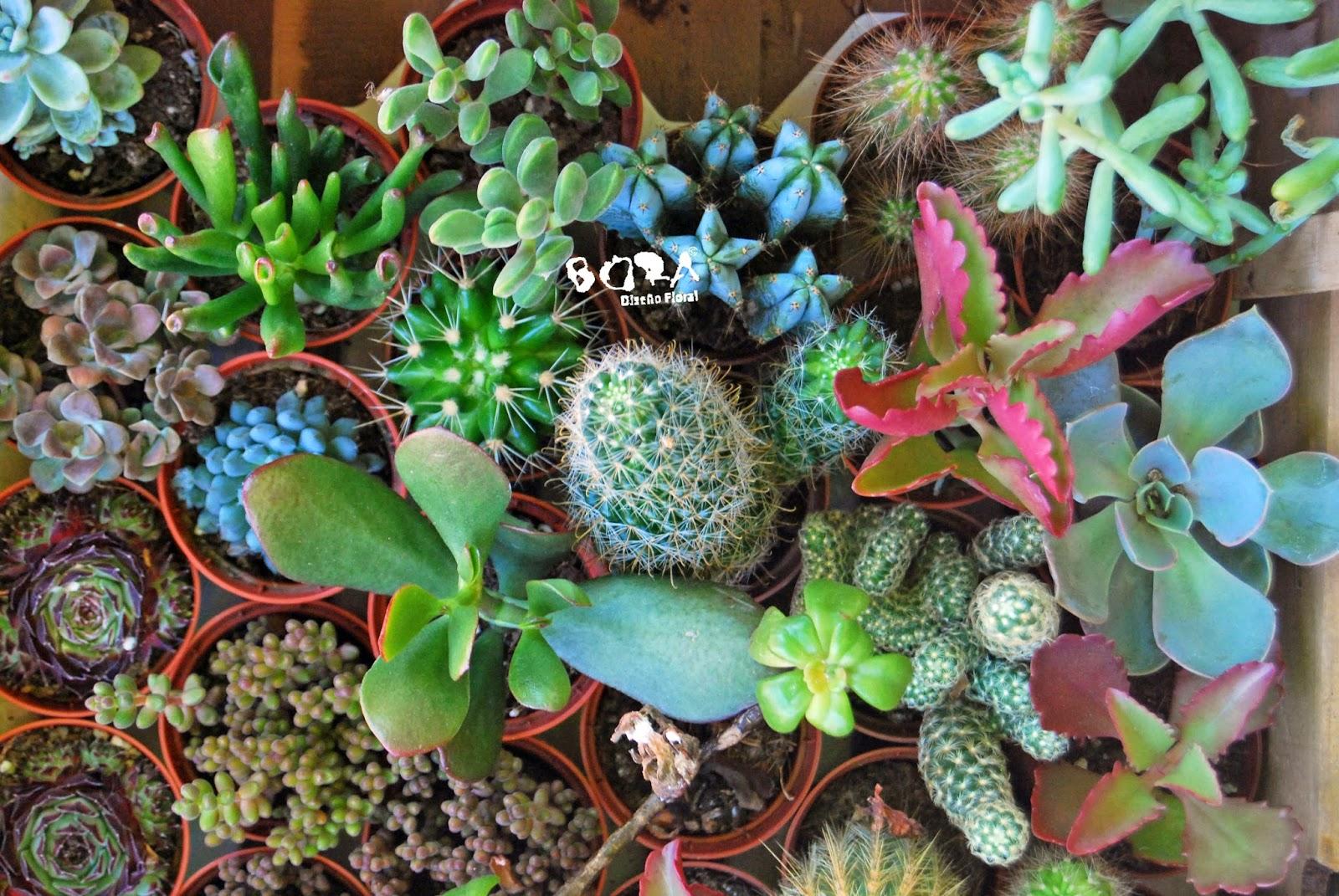 cactus y crasa