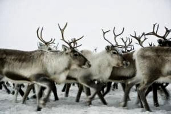 How archaeology helps wild reindeer