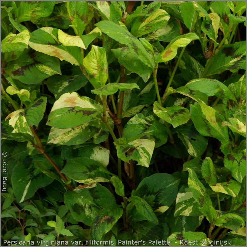 Persicaria virginiana var. filiformis 'Painter's Palette' - Rdest wirginijski 'Painter's Palette'