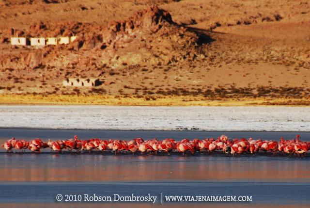 grupo de flamingos em lagoa de lipez bolivia