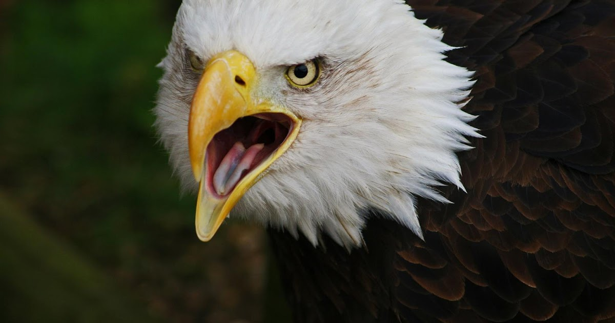 El guila de cabeza blanca americana guilas del mundo for Mundo mueble aguilas