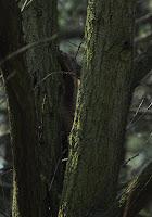 wiewiorka wsrod drzew
