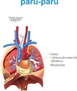 gambar paru-paru