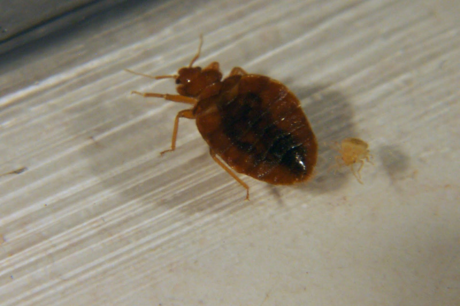 How Did Bed Bugs Start