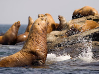 sea lions hd wallpaper
