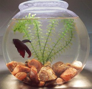 Betta fish tips how to take care of your betta fish for How to take care of fish tank