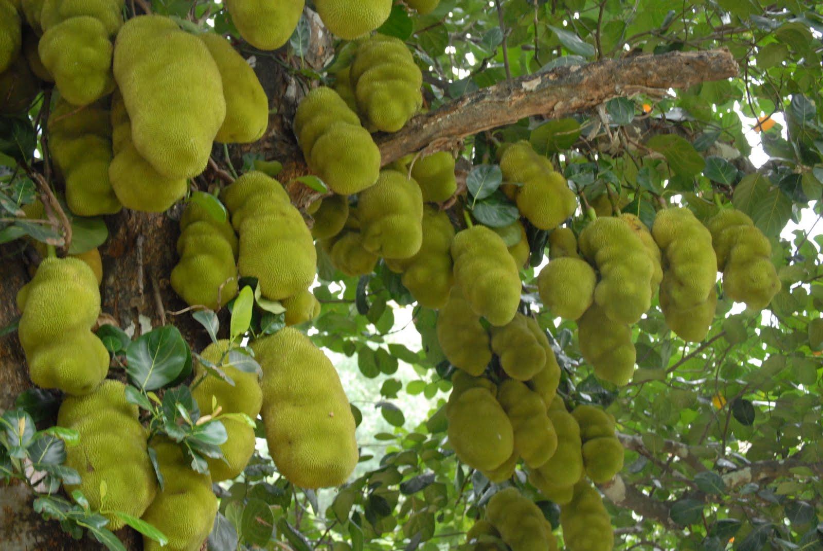 Trees planet artocarpus heterophyllus jackfruit jack for Fruit trees