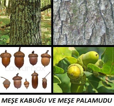 meşe ağacı, meşe kabuğu, meşe palamudu, oark tree nut, oark tree bark