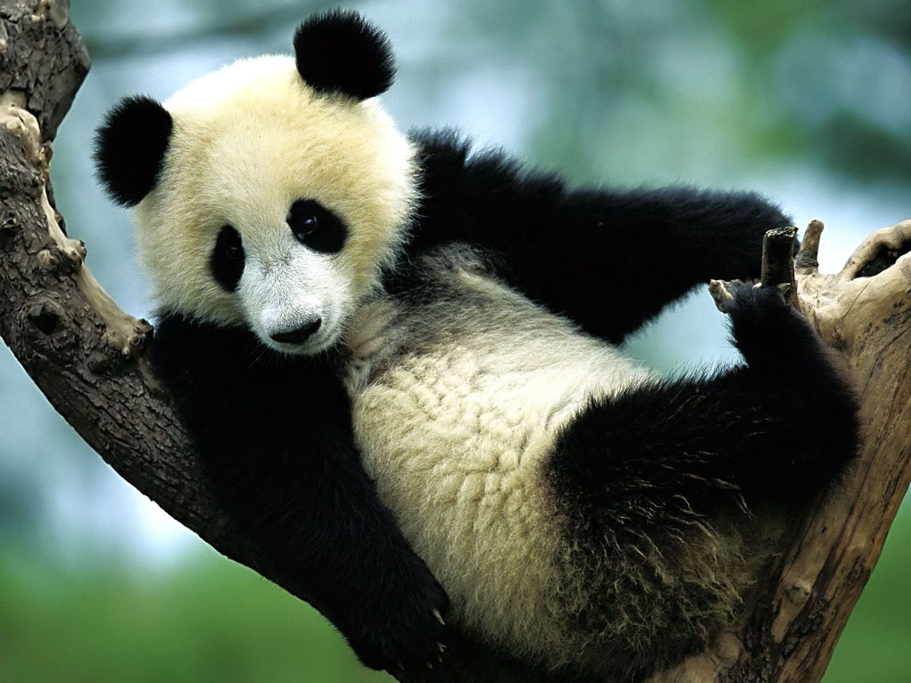 background wallpaper panda - photo #28