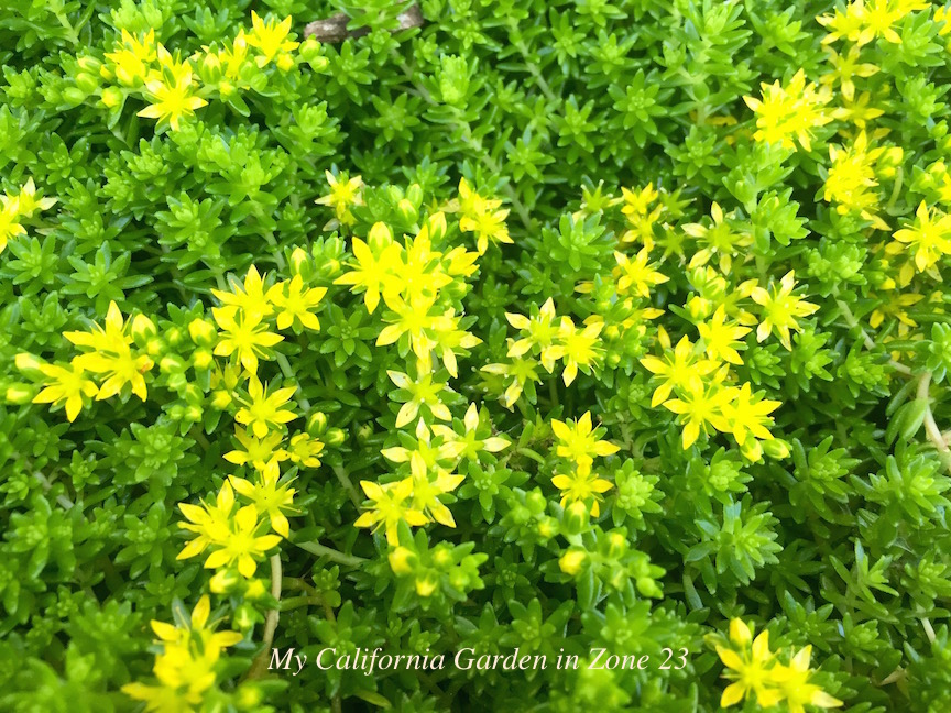 My california garden in zone 23 like mossd needs little water its green with small yellow flowers in the spring and summer common name of goldmoss sedum or sedum acre mightylinksfo