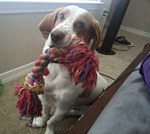 adorable dog pictures, dog grabs his toy with mouth