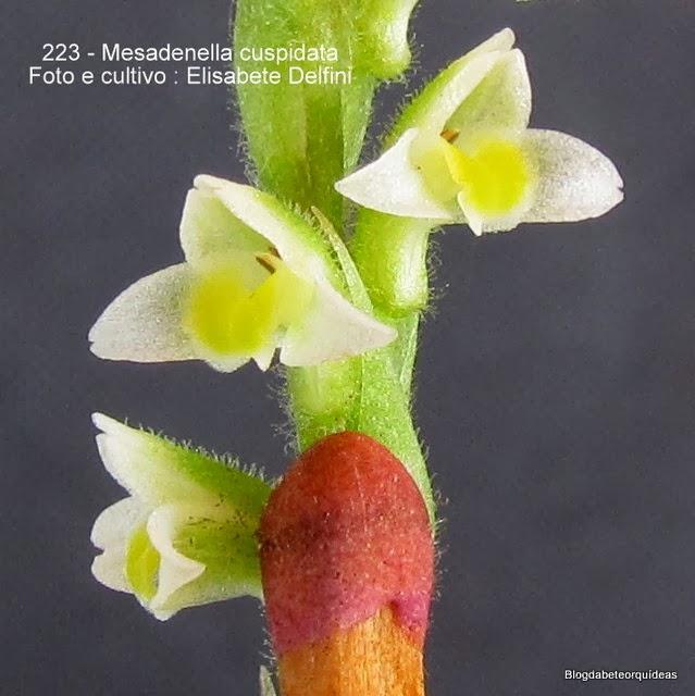 Spiranthes cuspidata , Mesadenella esmeraldae