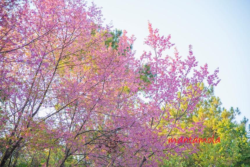 Cherry Blossom Thailand