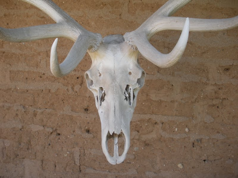 Elk skull drawing - photo#28
