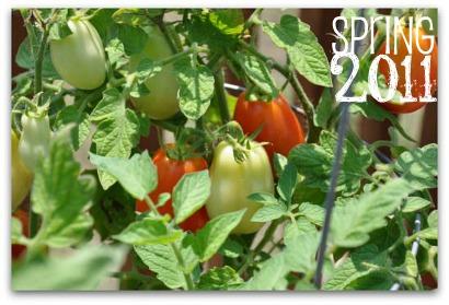 roma tomato garden plant 2011