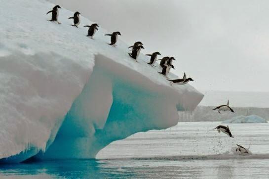 Pingüinos Adelaidas