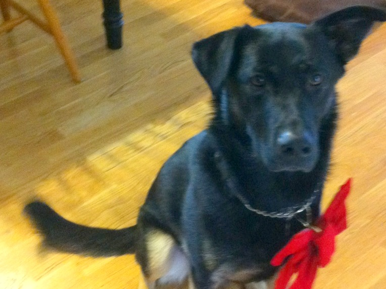 photo of mostly black german shepherd buster sitting on the floor with a red bow hanging from his neck