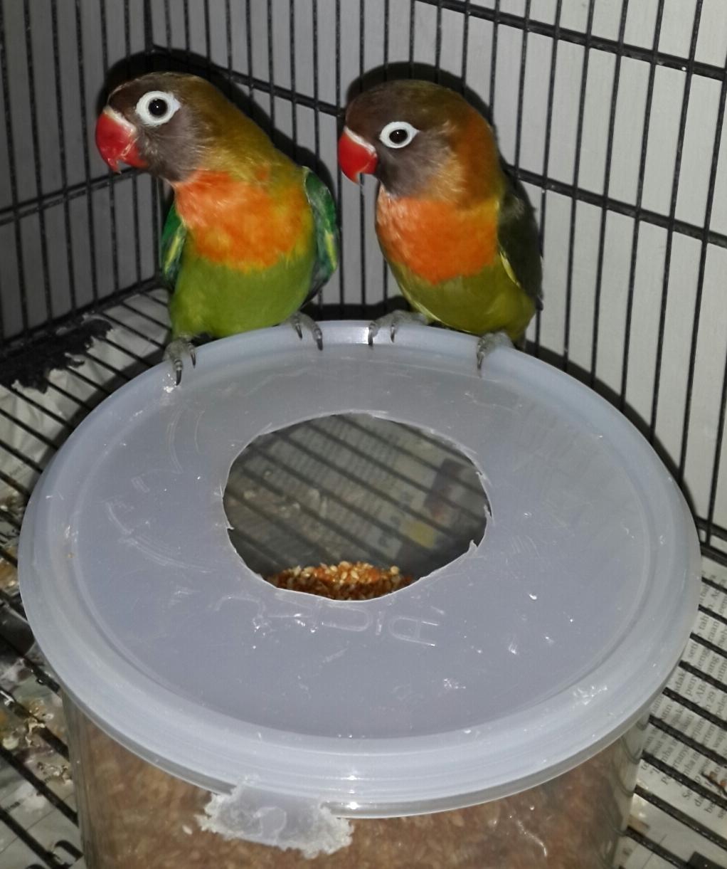 lovebird surabaya waffen ss aviary warna warni love