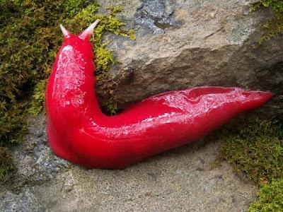 Siput Merah Jambu