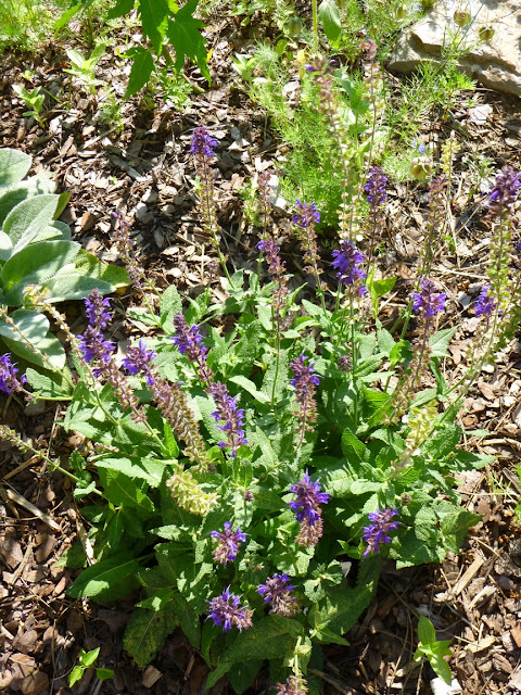 """Salvia """"May Night"""", deadheaded and giving a bit of rebloom"""