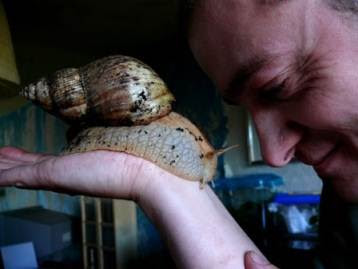 the giant tiger land snail