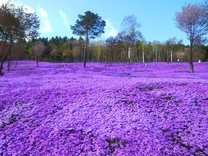 Shibazakura Flowers, Takinoue Park