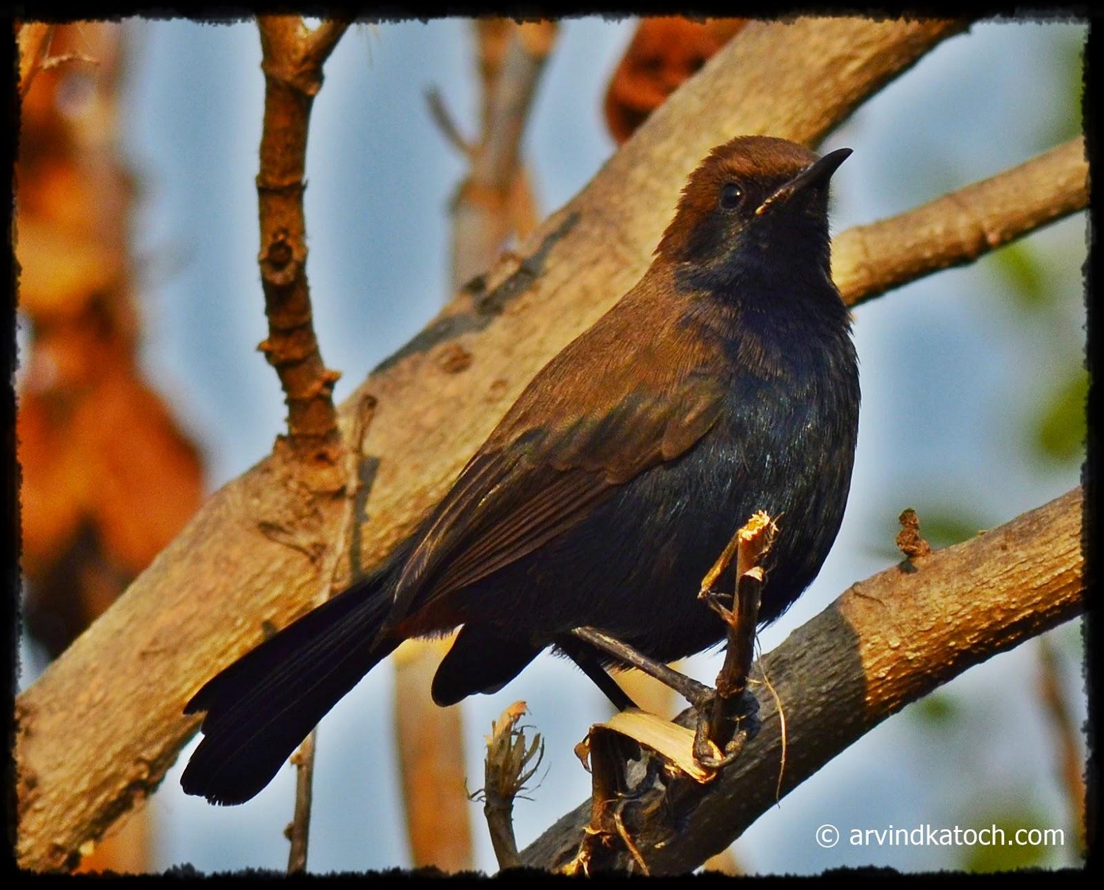 Brown Headed Bird, Navy Blue Chest, Small Bird, Punjab