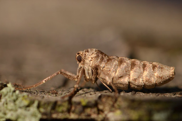 a moth with no wings - a female Fall Cankerworm Moth